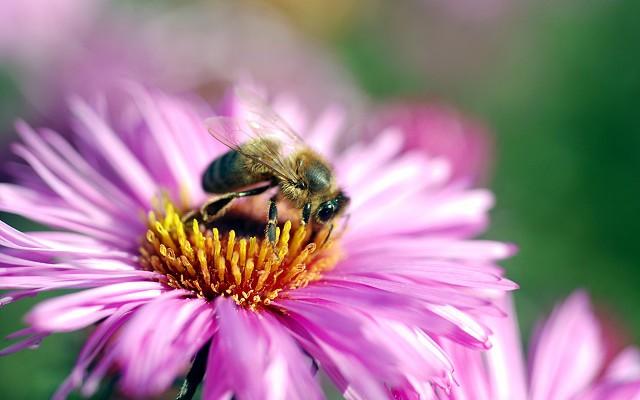 una abeja cogiendo polen en una flor