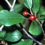 Usos medicinales de la Frángula (Rhamnus frangula).