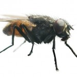 Hierbas repelentes de moscas e insectos.