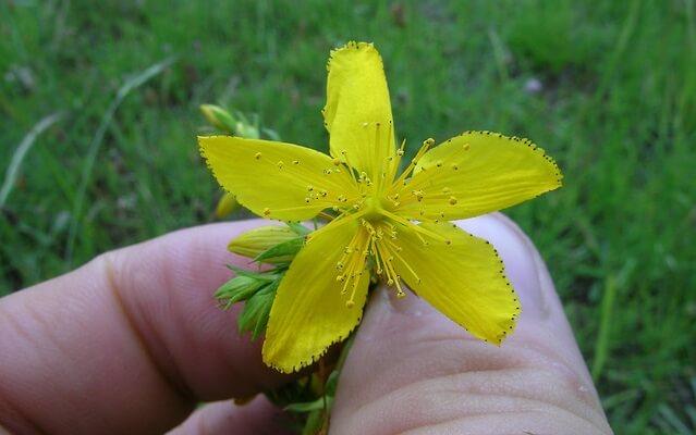 Usos medicinales del Hipérico (Hipericum perforatum).