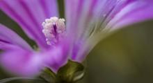 flor de malva de perfil