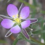 Propiedades medicinales de la Arenaria roja (Spergulatia rubra o Arenaria rubra).