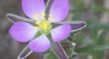 Arenaria roja gracias a Rasbak de wikimedia commons