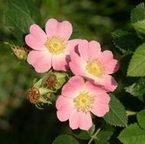 Flor de rosa mosqueta.