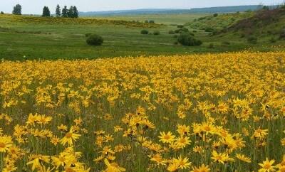 campo con flores de arnica