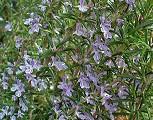 Flores de romero gracias a H. Zell de wikipedia.org