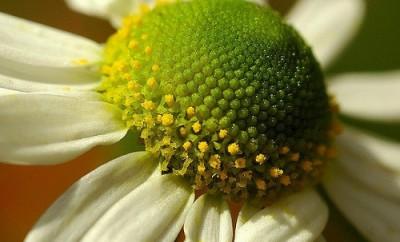 Flor de manzanilla de cerca